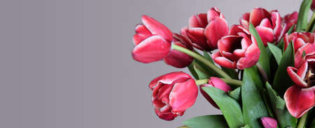 Big beautiful bouquet of many red tulips on gradient gray background with empty space for text at left