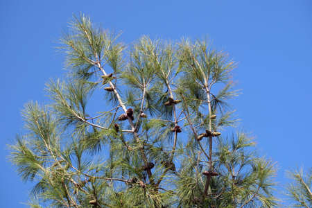 Top of green pine with cones and needles branches close up before clear cloudless blue sky as background