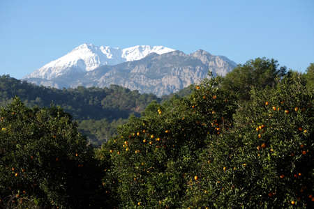 Beautiful landscape with oranges fruit gardens on foothill of the mountains of different heights with high snow peaks at far and dense mountain vegetation and on bright sunny cloudless day