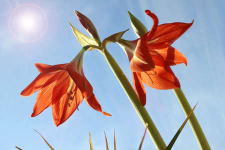 Red zephyr flowers blossom in spring outdoor against blue sky closeup 版權商用圖片 - 143772226