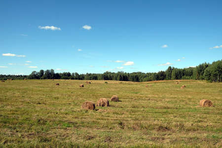 Rural landscape with summer field with many rolled haystacks and the forest on skyline on bright sunny day under blue cloudless sky