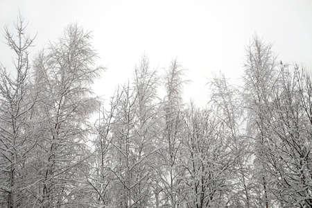 Beautiful landscape with snow-covered tree tops and branches in the forest in the frozen day of winter