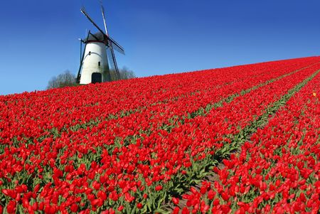traditional windmill: dutch mill behind a field full of red tulips