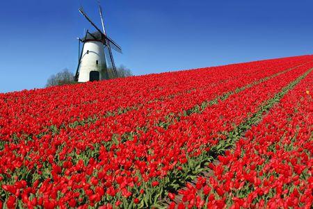 Nederlandse molen achter een gebied vol met rode tulpen