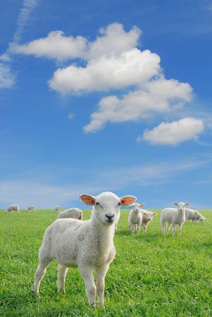 spring lambs: cute lambs in fresh green meadow on blue sky background with fleecy clouds to use as speech bubbles Stock Photo