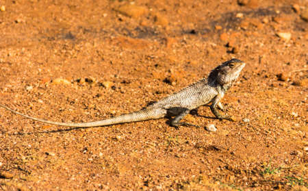 portrait of brown lizard on the rock, Sigirya, Sri Lanka