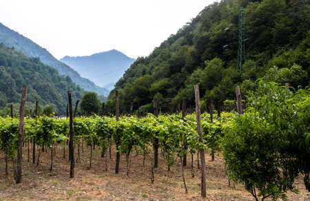 Panorama of vineyard and mountains on background