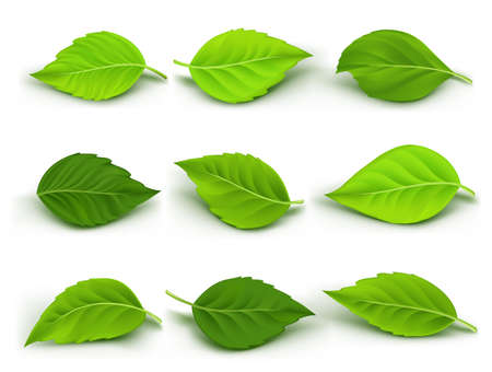 Set of Realistic Green Leaves Collection. Vector Illustration Çizim
