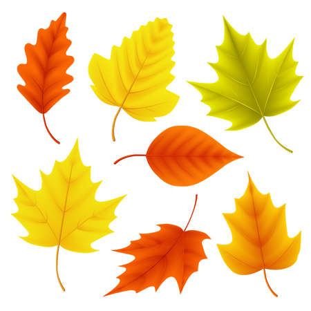 Autumn leaves vector set for fall seasonal elements with maple and oak leaf in colors isolated in white background. Vector illustration. Çizim
