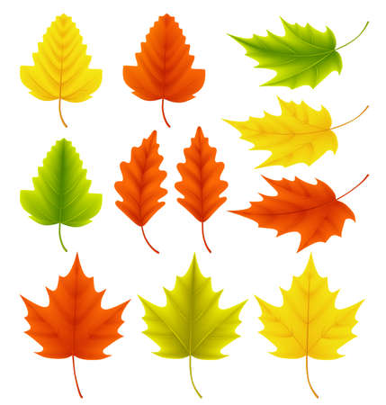 Fall leaves vector collection. Set of autumn leaves like maple and oak with different colors isolated in white background. Vector illustration. Ilustração
