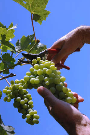 viticultura: picker picking the grape,concept of viticulture