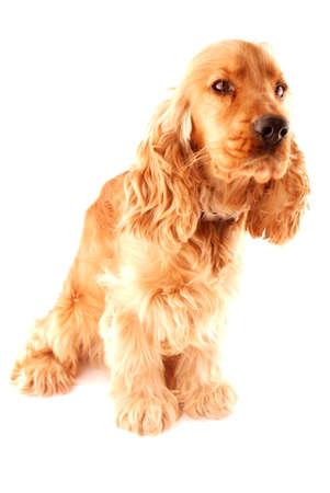 photo of british cocker spainel on white background Stock Photo