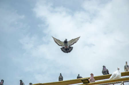 pigeon flying on the cloudy blue sky