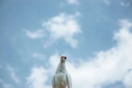 White pigeon on the cloudy blue sky Stock Photo