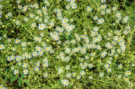 fresh chamomile flowers in the field Stock Photo