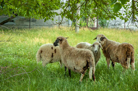 a group of sheep in a green meadow Stock Photo