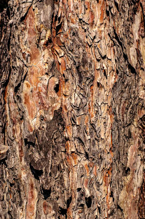photo of multicolored texture of pine tree bark, natural background