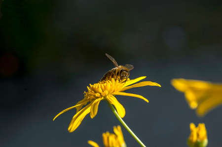 the bee collects pollen from the yellow flower Stock Photo
