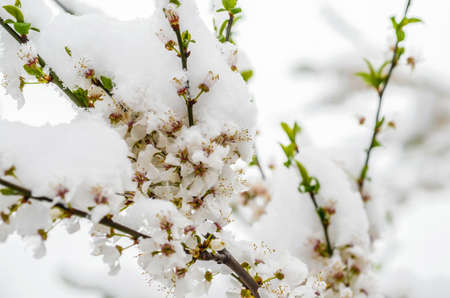 Snow falls in the spring and cherry blossoms, selective focus