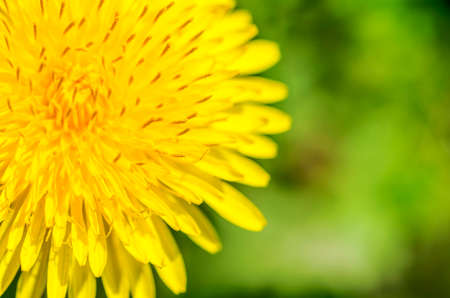 Macro photo of bright yellow dandelion. Closeup shallow focus