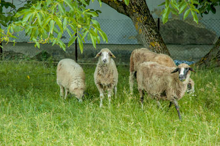 four sheep on a green meadow under a walnut tree