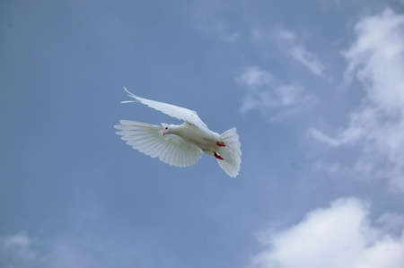 a white dove with outstretched wings in the blue sky