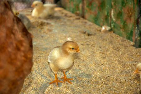 A little yellow chicken in a cage on a farm, soft focus