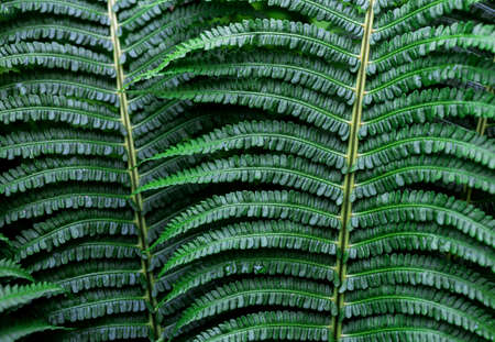 Fern leaf with water drops. Close up. Pteridium aquilinum Stock Photo