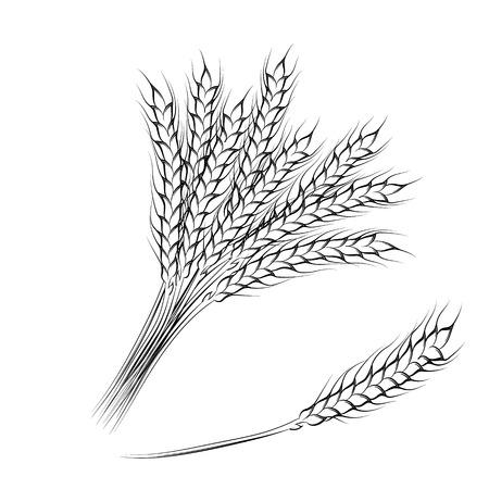 手描きの小麦の穂、白い背景で隔離のベクトル イラスト。EPS10