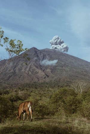 The cow grazes near the erupting volcano Agung, Bali, Indonesia