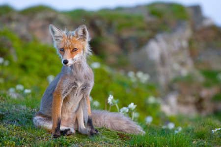 Red fox, sunrise, Babia Gora, Poland photo