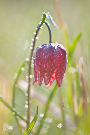 Snake s Head Fritillary  Fritillaria meleagris  with the morning dew  photo