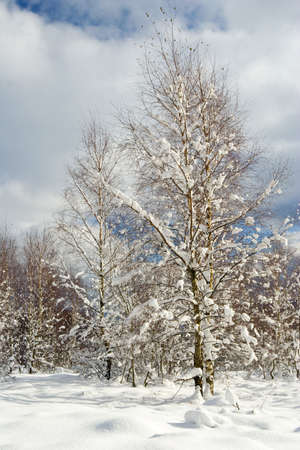 winter snow covered fir trees on mountainside on blue sky background  Stock Photo