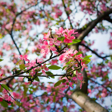 abundant: pink blossom of apple trees in springtime