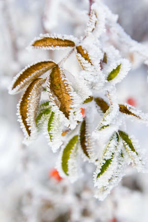 Hoarfrost on leaves  photo