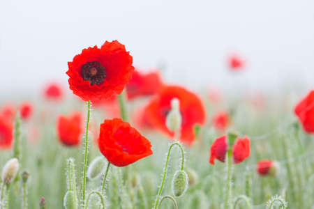 Field of poppies Stock Photo - 16033454