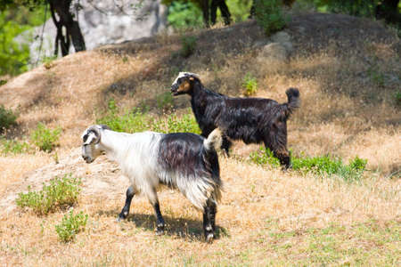 anatolia: goats in the wildness Turkish valley  Stock Photo