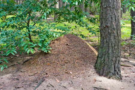 The big ant hill in coniferous wood  Stock Photo - 16186214