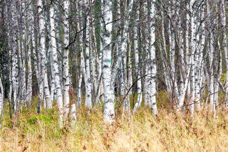 Fond naturel - un bouleau en automne