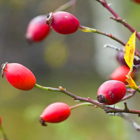 Rose hip Branch of a rose hip bush with ripe fruits  photo