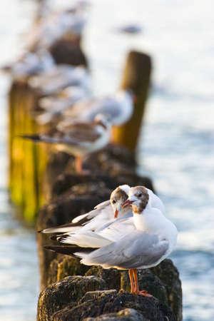 groynes: Gulls on groynes in the surf on the Polish Baltic coast