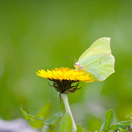 Yellow butterfly on yellow flowers  Stock Photo - 16848669