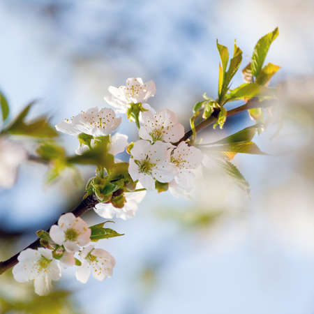 flowers to apple trees  photo