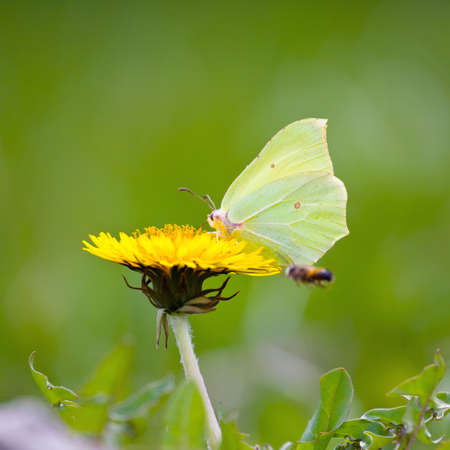 Yellow butterfly on yellow flowers  photo