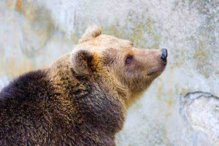 Brown bear in the zoo photo