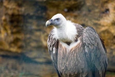 gyps: Griffon vulture  Gyps fulvus