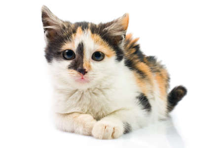 Three-colored kitty photo