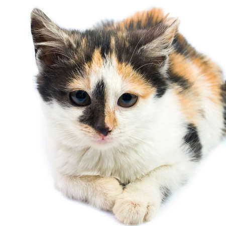 Three-colored kitty Stock Photo - 17092845