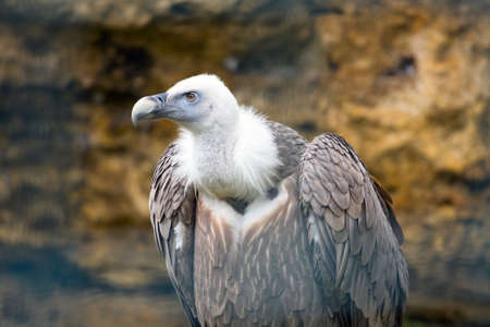 fulvus: Griffon vulture (Gyps fulvus)