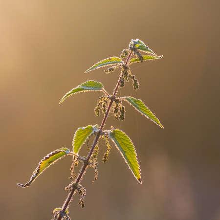 stinging  nettle: stinging nettle plant Stock Photo
